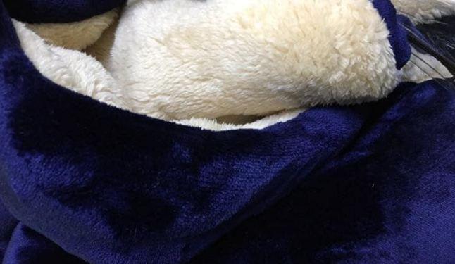 Đánh giá chăn lông cừu Gogatsu Nhật Bản